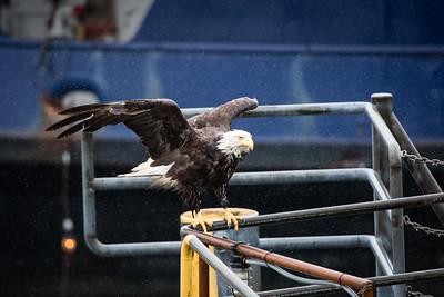 Juneau Eagle
