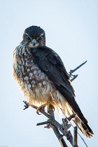 Merlin Looking Stern