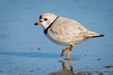 Piping Plover in the Morning Sun