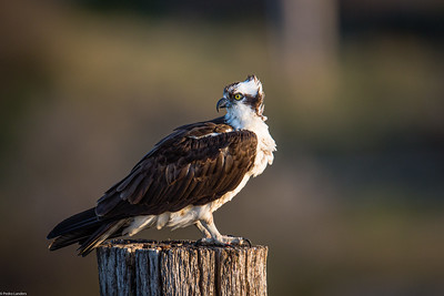 Osprey Retrospect