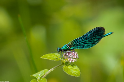Beautiful Demoiselle on Water Mint