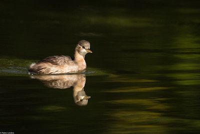 Little Grebe 1