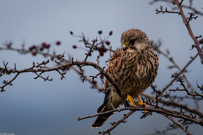 Kestrel and Hawthorn
