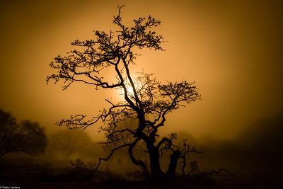 Hawthorn in the Mist