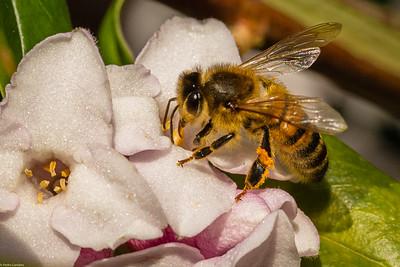 Bee on Daphne Flower