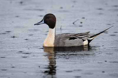 Pintail in the Rain