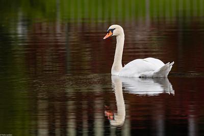 Swan at Lopwell