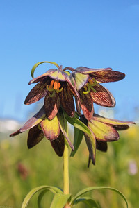 Chocolate Lilly