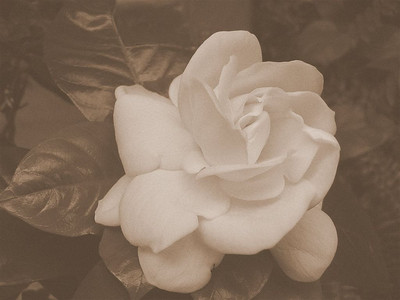 BW-Faded_Rose-SelbyD