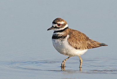 "May Haga   ""Killdeer""   Digital Color Image of the Year    Best Color Image of all Clinic Winners  Voted by the Members"