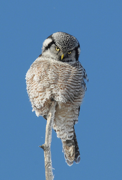 Northern Hawk Owl - May Haga