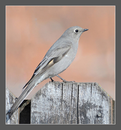 YE-CR-Townsend's-Solitaire-HagaM