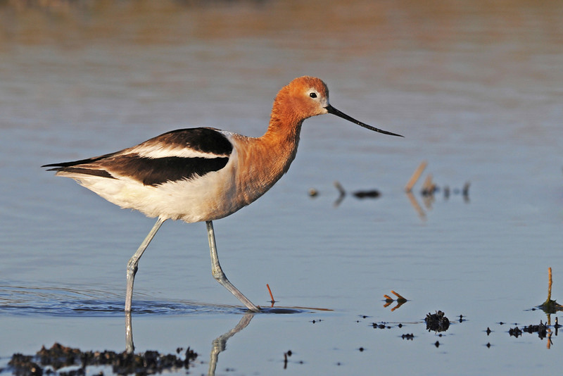 Winner of the Year-end Open Color category for the  best Digital Image  American Avocet  by May Haga