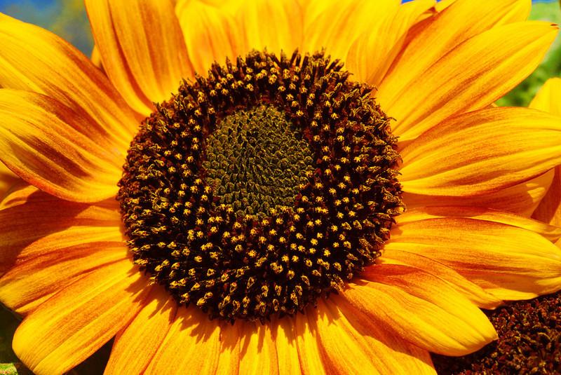 CO-Glorious_Sunflower-SchindelE