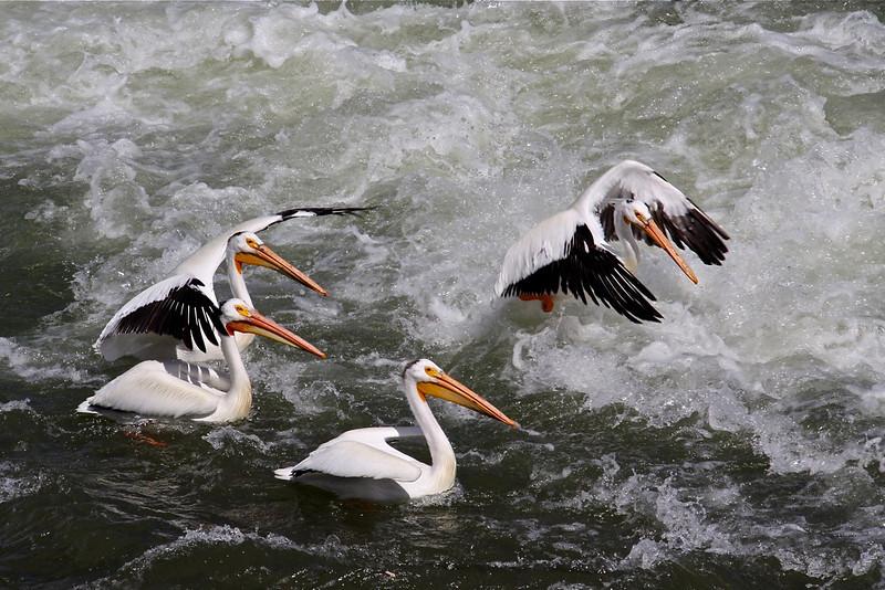 TR-Pelicans-Hilda Noton