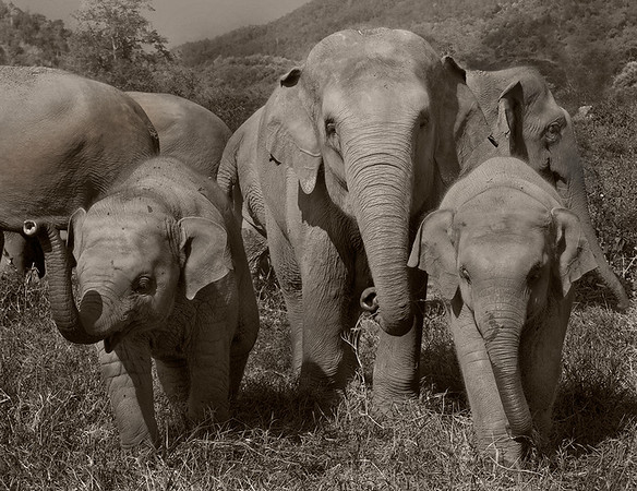 BW-Wild Baby Elephants-Barry Singer