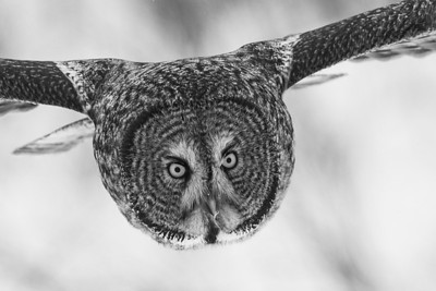 Great Gray Owl near Choiceland, Saskatchewan