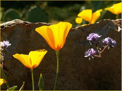 TR-Poppies-Kathy Meeres