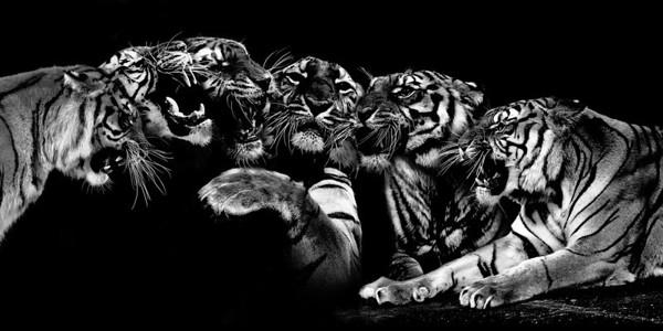 Print-AR-Tiger,Tiger-Ken Greenhorn