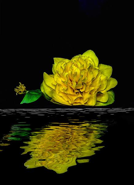 1Print-AR-Yellow Begonia-Barry Singer