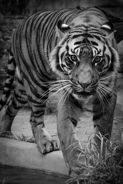 BW-Tiger-Susan Mutch