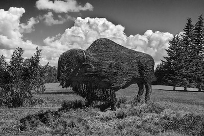 1Print-BW-Barbed Wire Buffalo-Dale Read