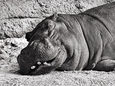 BW-Happy Hippo-Rob Arthur