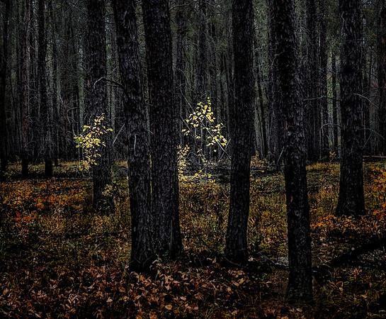 TR-Forest Light-Barry Singer