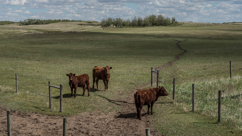 2-3 Cows-Barry Singer