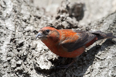 Common Crossbill