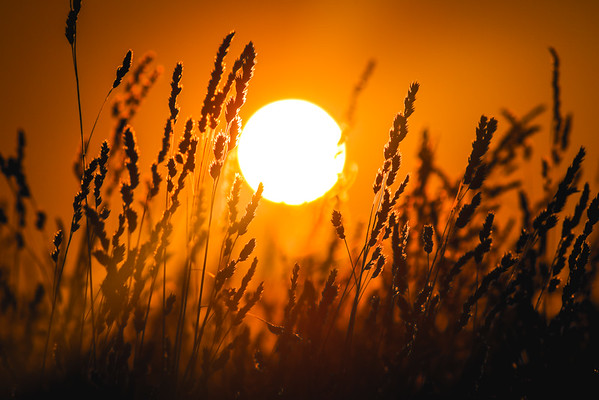 Sunset Through Tall Grasses
