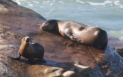 Seals and sea lions at La Jolla