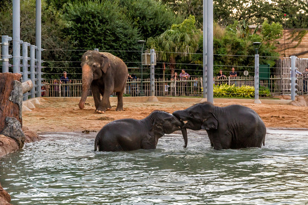 """Playtime in the Pool<br /> The last time I went to the zoo, I only had an hour before it would get dark. There were only a few large animals that were moving about, including the cheetah and the elephants, but not in the same enclosure of course. They don't play well together. But these two young elephants were doing just that, playing. We were watching the big guy eat, when the two """"kids"""" came running from behind somewhere. They ran up to the large elephant and stopped as if to ask if they could go swimming, then on cue, they both turned and ran straight for the water. They played for some time as it grew darker outside and we were forced to leave, since the zoo was closing.  It was worth the trip just to watch the kids play in the pool."""