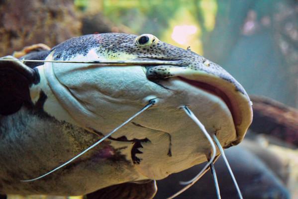 Mud Cat<br /> This very large catfish was taken at an Kipp Aquarium at the Houston Zoo.