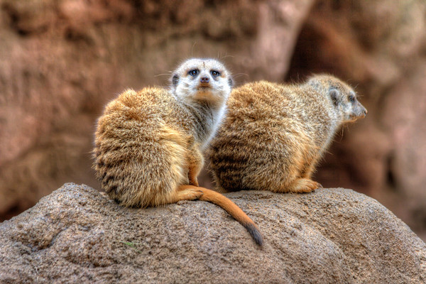 Meerkats<br /> The meerkat or suricate is a small mammal belonging to the mongoose family and live in many south African deserts.   These little guys are fun to watch and can stand still for long periods before scampering away. They like to burrow in large underground networks with multiple entrances which they leave only during the day to find food.