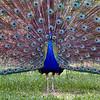 A Vargos Peacock