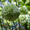 A Chinese Snowball<br /> This flower is from the Chinese Snowball tree. The large flower heads start out lime-green before they change to white and they get 6 to 8 inches across. This tree was about twenty feet tall and full of these beautiful snowballs.