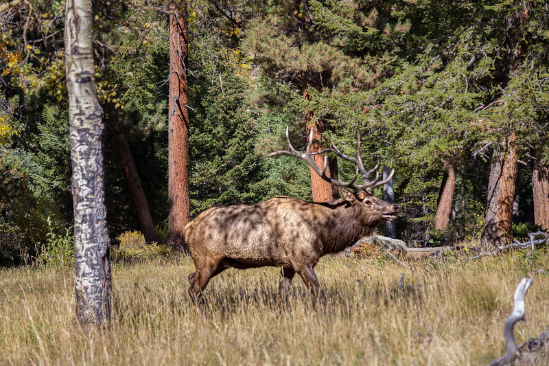 An elk in Rocky Mountain National Park. Photo by Tim Stanley.