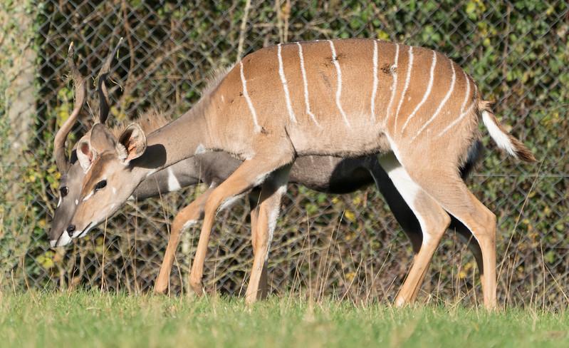 Animals, Lesser Kudu, Marwell Zoo