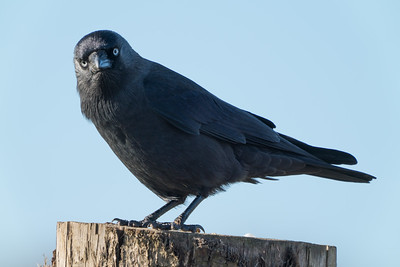 Animals, Birds, Crow, Marwell Zoo