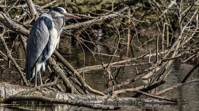 Animals, Birds, Grey Heron, Heron, Moors Park, Moors Valley Country Park - 08/03/2018