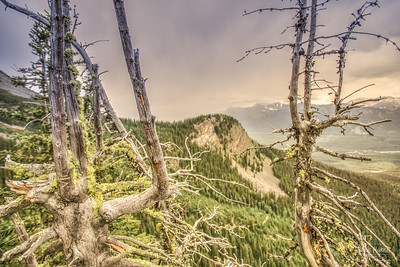 Gnarled Trees over Lake Louise