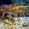 Crusty<br /> A few years back, our family visited Moody Gardens in Galveston. One of the three large pyramids is their Aquarium and contains many examples of all kinds of undersea specimens. I can't promise, but this crusty-looking crustacean might be a spiny lobster. Either way, I don't want to find him in my swimming pool.