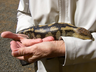 Dorothy held a Blotched Blue Tongue Lizard.