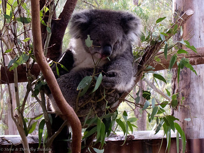 We watched as three koalas dined on eucalyptus leaves.