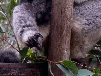 This photo shows a Koala's padded thumb and  2 fused grooming claws