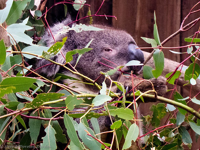 A Koala's eyesight is poor but its large nose provides a good sense of smell.