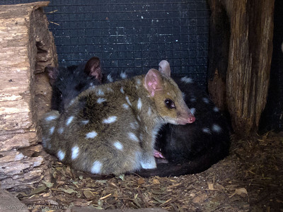 Spotted quolls