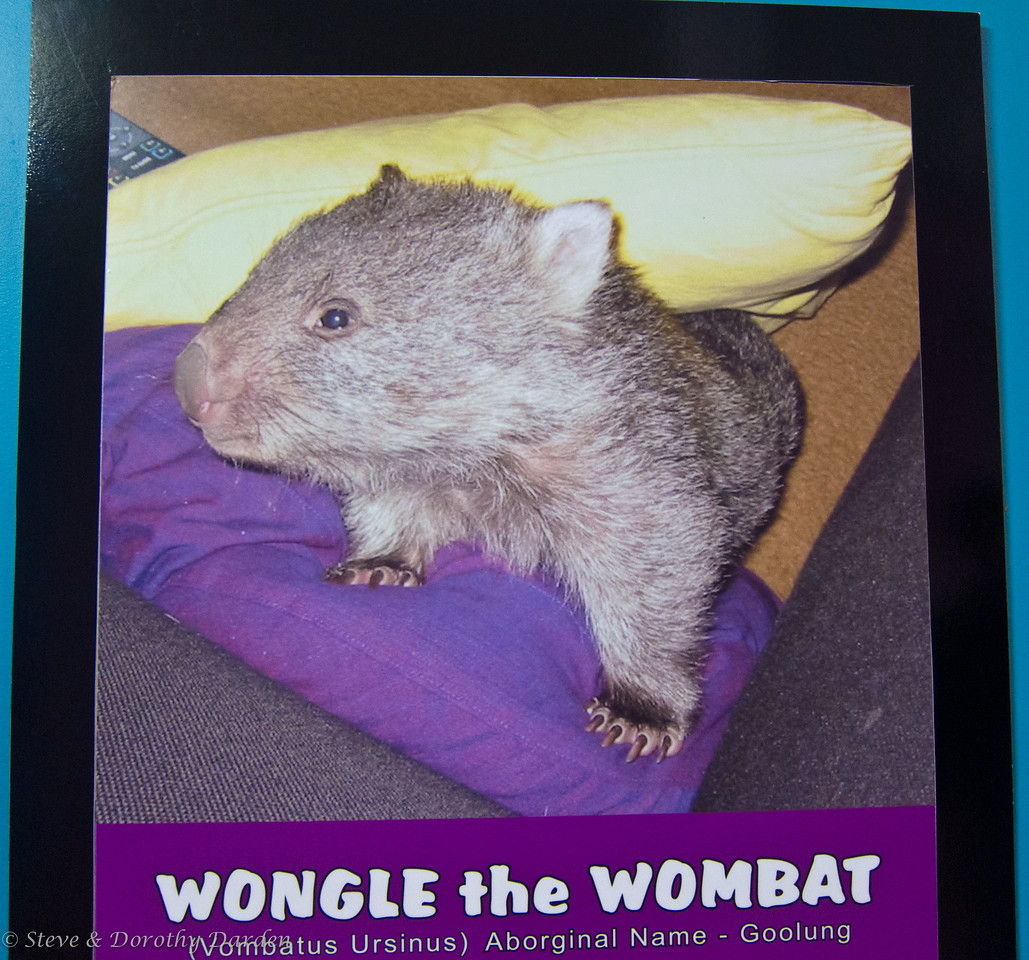 This wombat was found orphaned and raised by the wildlife park.