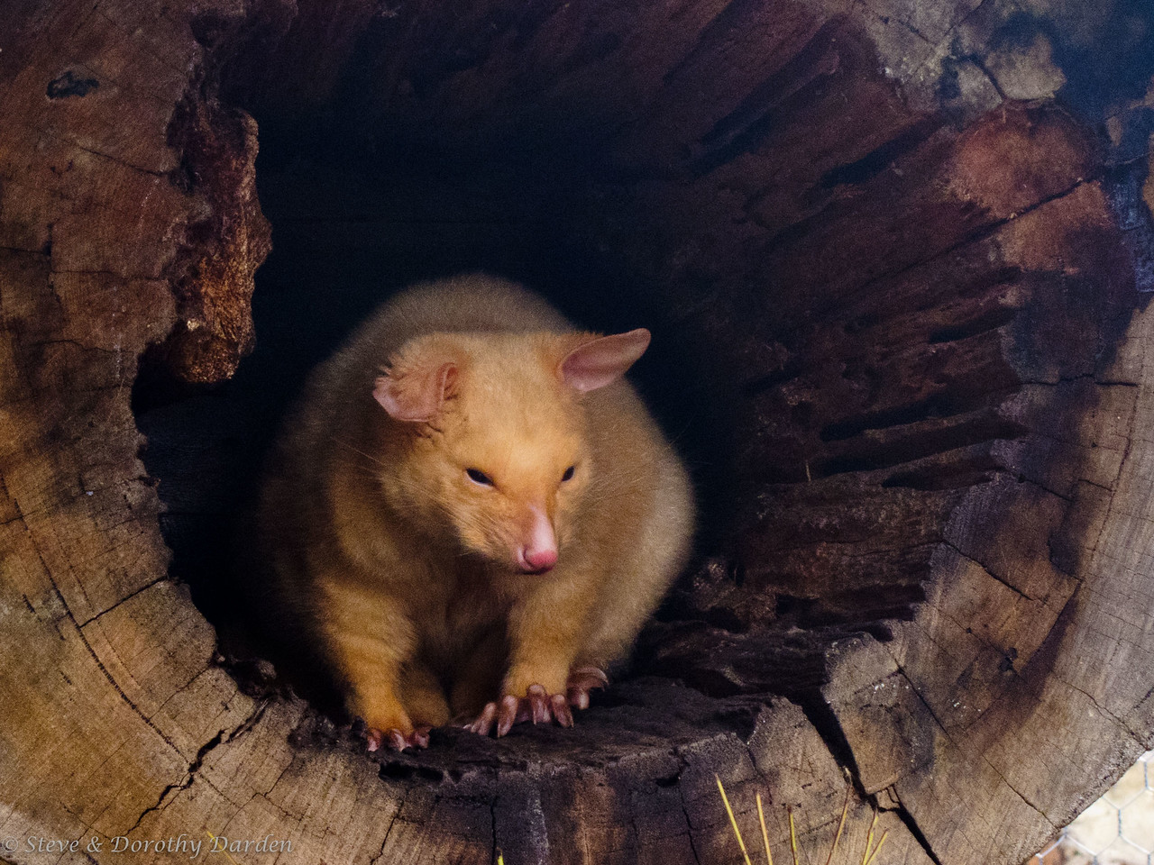 Golden possum